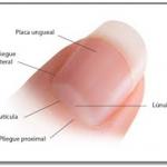 Descubre La Estructura Y Anatomia De Las Uñas
